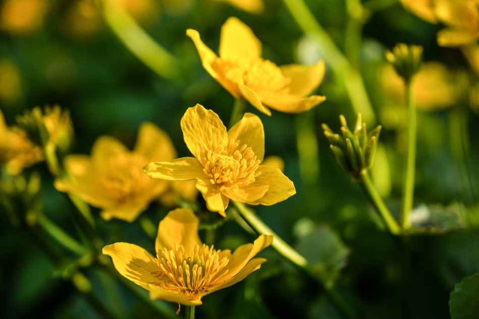 A bunch of Marsh Marigold ... Kingcup Flower Flowers Flowers_collection Flower Photography Nature Nature Photography Nature_collection Naturelovers Outdoors Beauty In Nature Dusk Germany Spring Springtime Spring Flowers Flower Head Yellow Stem Pollen Low Angle View Close-up Macro Macro_collection