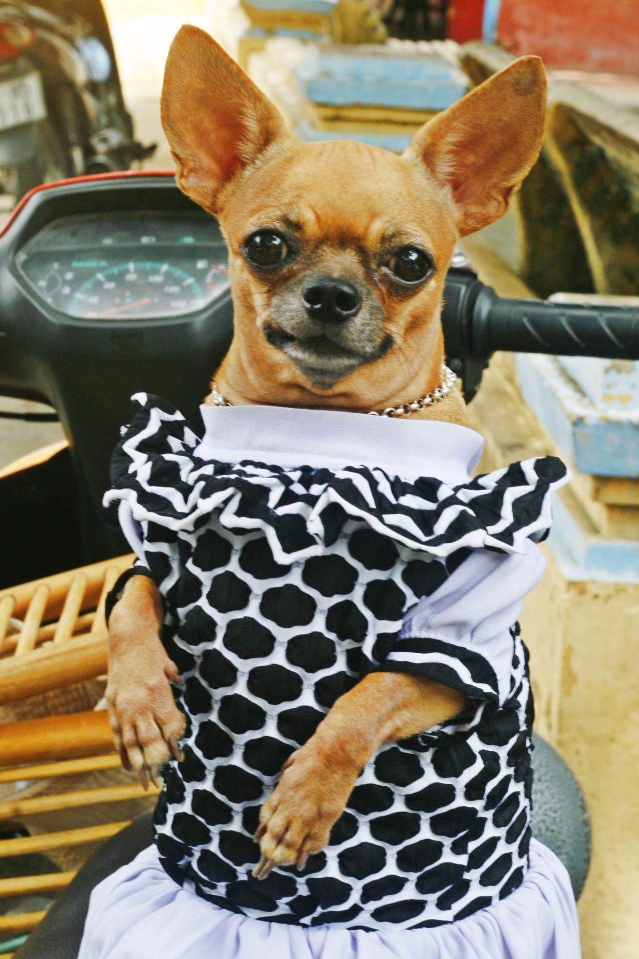 Beautiful stock photos of chihuahua, Animal Themes, Chihuahua - Dog, Close-Up, Day