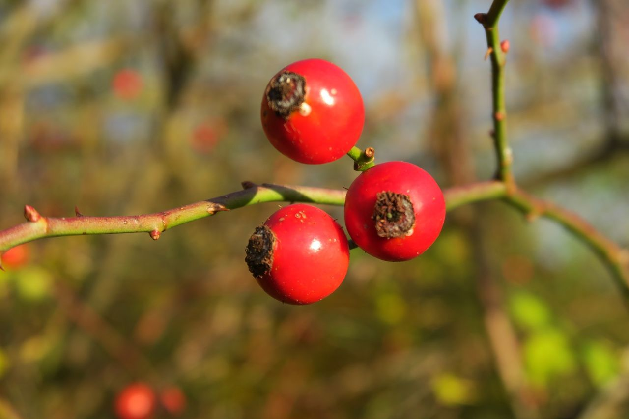 winter roses Bud Close-up Fruit Nature No People Plant Plant Red Road Rose Hips Rose Hips Close Up Red Twig