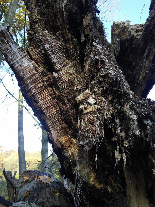 Nature Old Trees Trees Tree