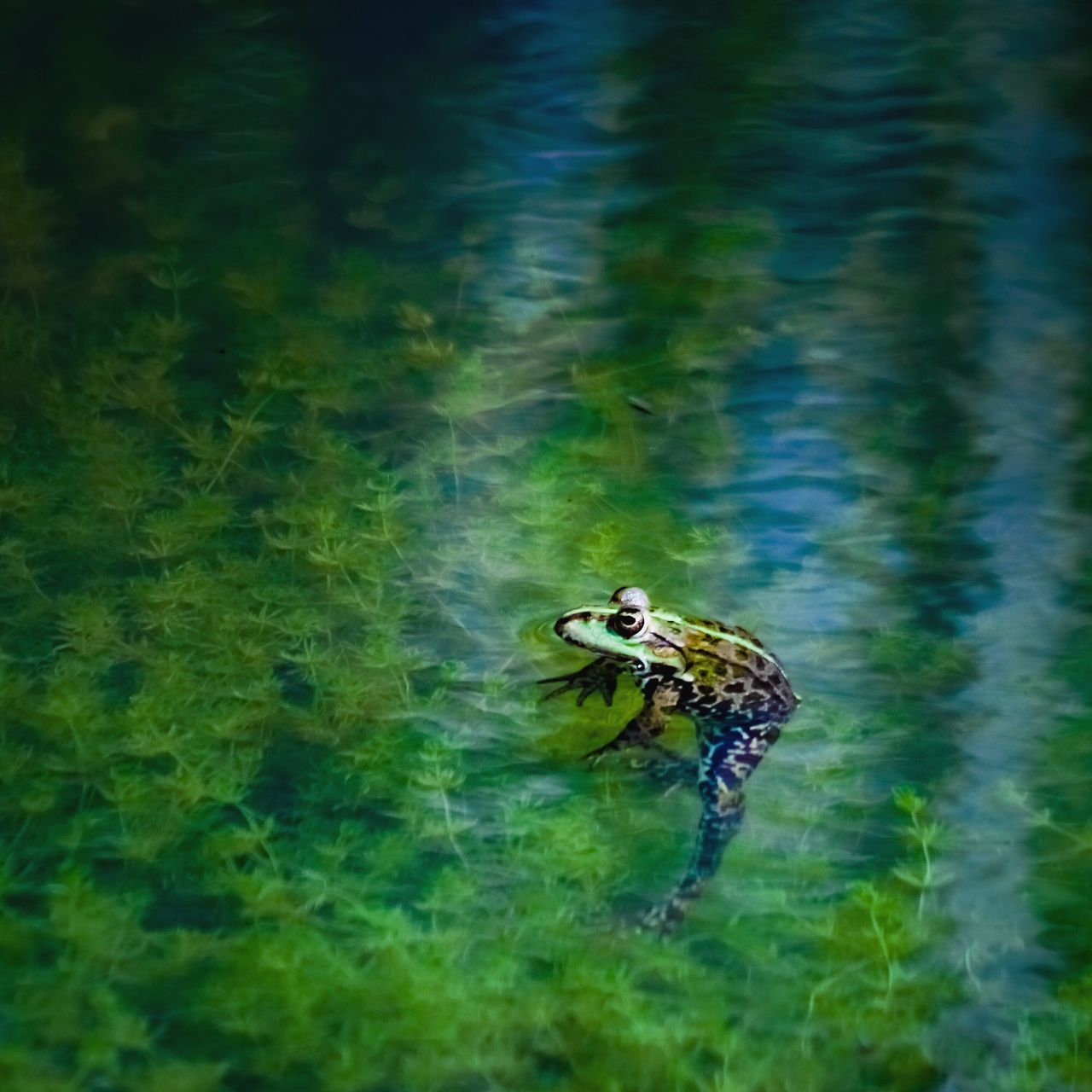 The Great Outdoors - 2017 EyeEm Awards One Animal Animal Themes Animals In The Wild Water Day Outdoors Animal Wildlife Nature Green Color No People Lake Reptile Full Length Swimming Frog