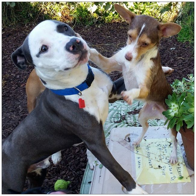 Cooper has a killer right hook. Amos watch out. BaBr Bayareabulliesrescue