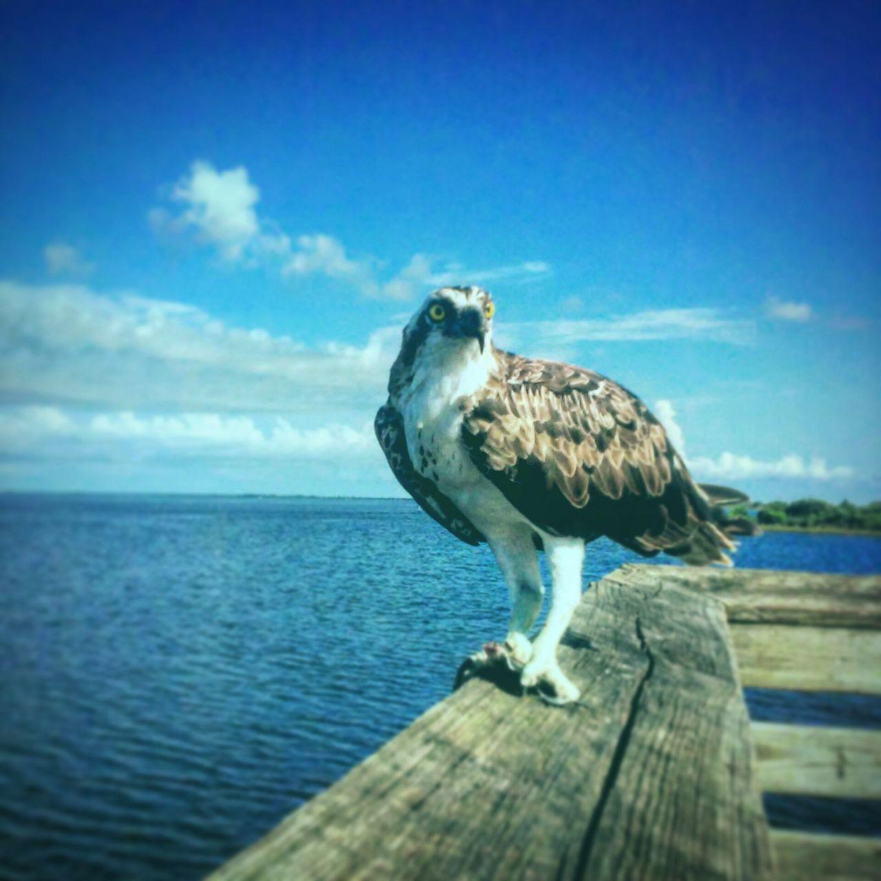 Florida Wildlife Osprey  Seahawk Gulfcoast Gulfofmexico Pier Fishing