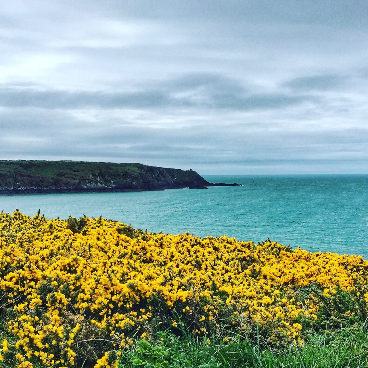 Colours of nature - yellow gorse and blue green sea on the coast of Pembrokeshire Nature Sky Flower Tranquil Scene Cloud - Sky Yellow Outdoors Idyllic No People Landscape Pembrokeshire Pembrokeshire Coast Coastline Gorse The Great Outdoors - 2017 EyeEm Awards