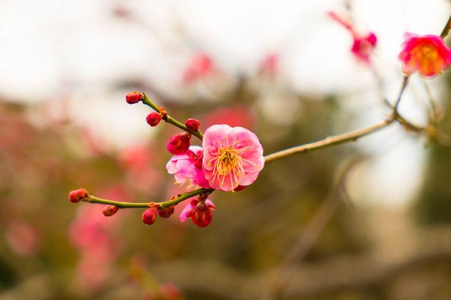 Flower Flowers Flower Plum Plum Flower Light And Shadow Eye4photography  EyeEm Best Shots