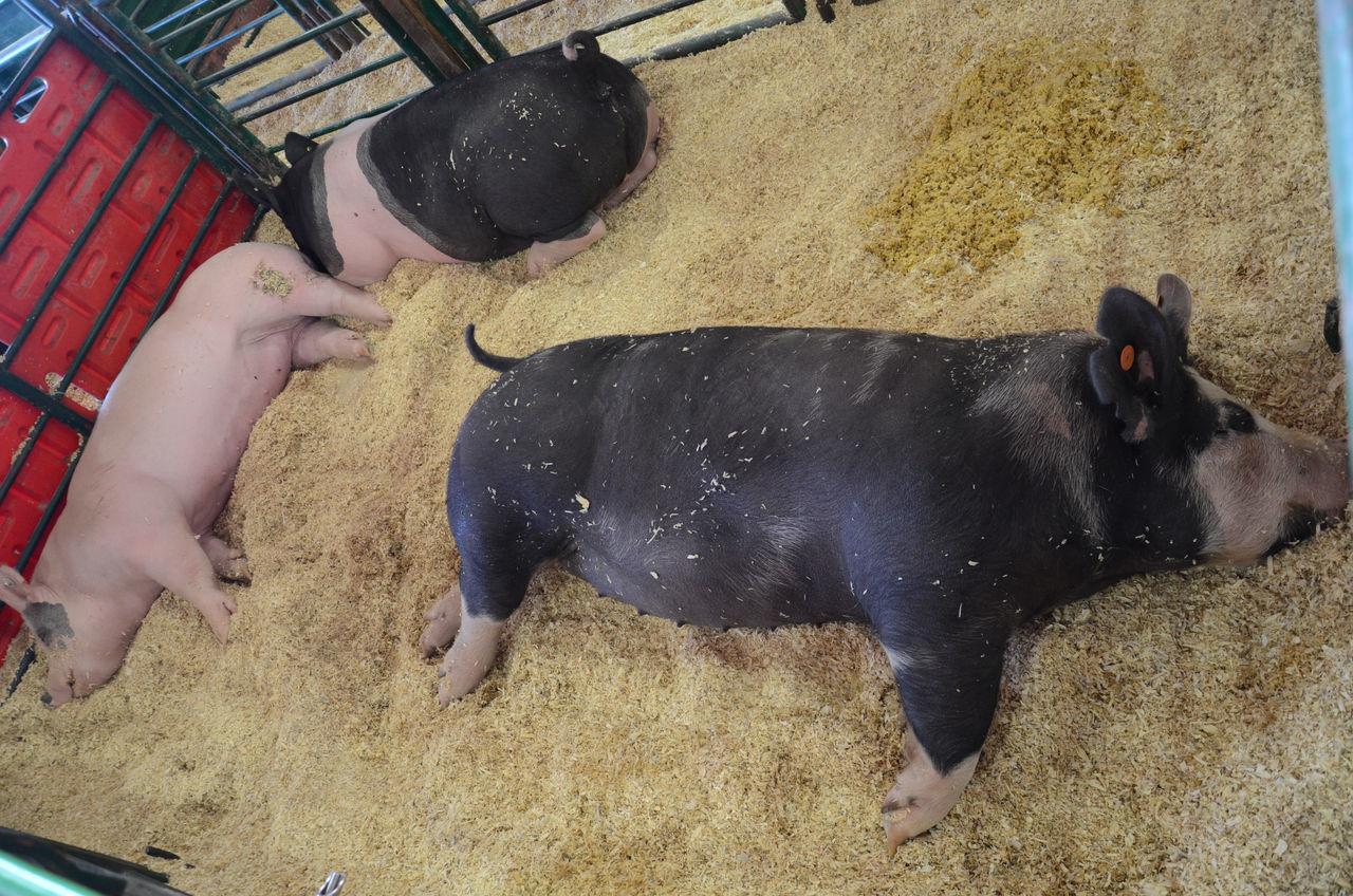 Animal Themes Day Domestic Animals Mammal Pets Pig Sleeping Pig Three Pigs