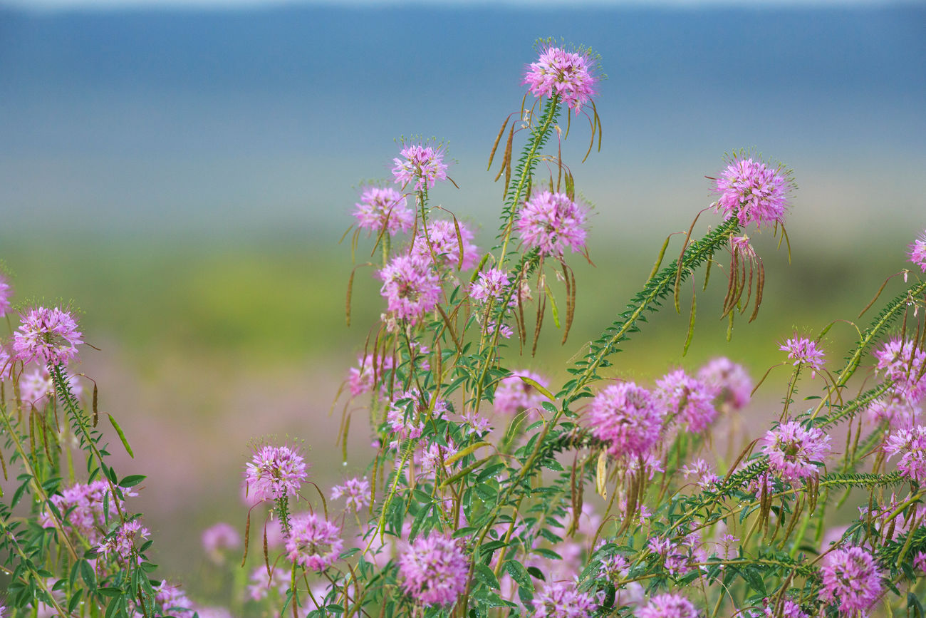 Cleome wildflowers Rocky Mountain Bee Flower Plant Purple Beauty In Nature Nature Freshness Outdoors No People Flower Head Wildflower Pink Color Blossom Lavender Colored Flower Hummingbirds Flowers Wildflowers Purple Flowers Flowers Plant Uncultivated