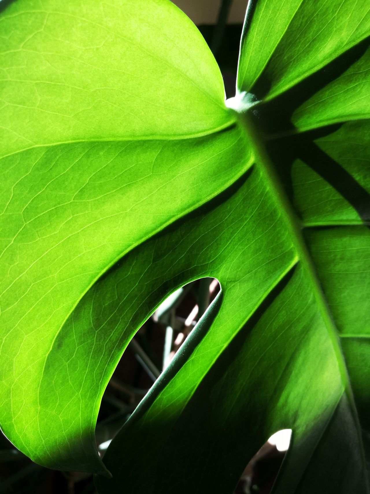 nr.86Leaf Green Color Close-up Nature Plant No People Growth TheWeekOnEyeEM Freshness Outdoors Plants Plants Collection Plants And Garden Green Plant Green Nature Growing Plants Nature Growing Colors Green Color Green Monster Monsters Beauty In Nature Day
