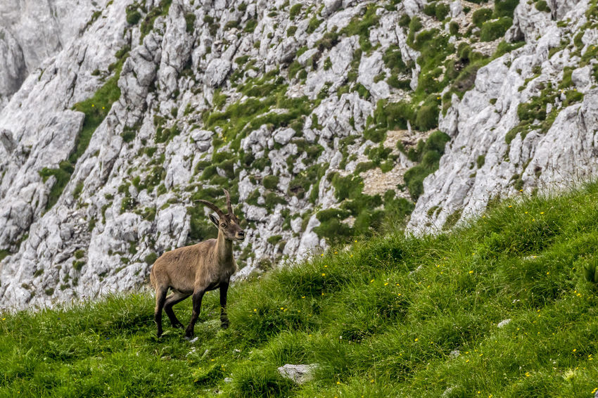 Wild goat Animal Animal Themes Animals In The Wild Beauty In Nature Grass Grassy Mammal Mountains Nature No People One Animal Outdoors Slovenia Wild Goats Wildlife
