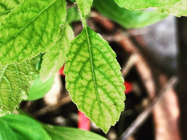 Mintleaves Mintgreen Mint Mint Leaves Green Green Green Green!  Mint Green