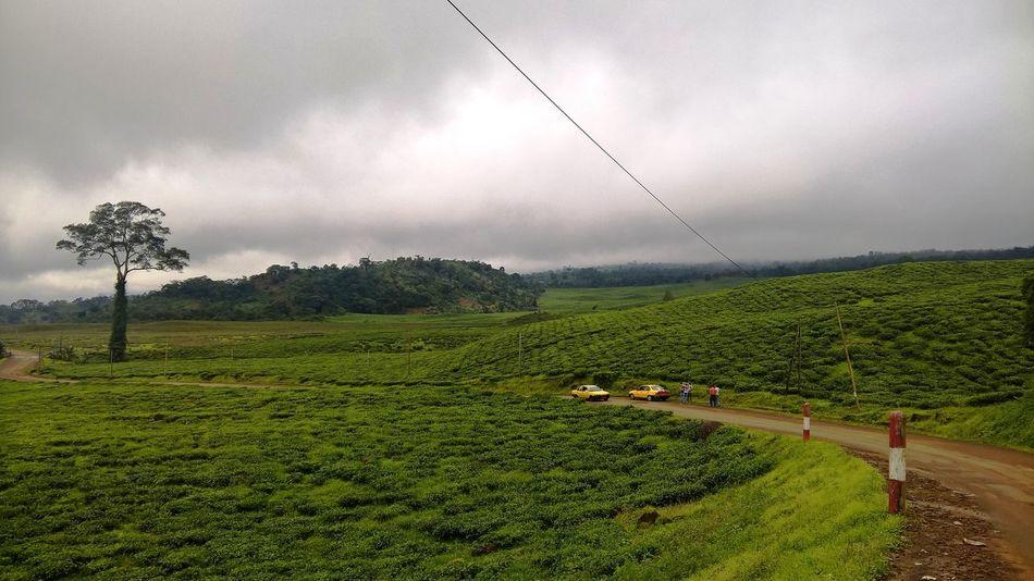 Agriculture Cameroon Field Green Landscape Rural Scene Tea Teafield View