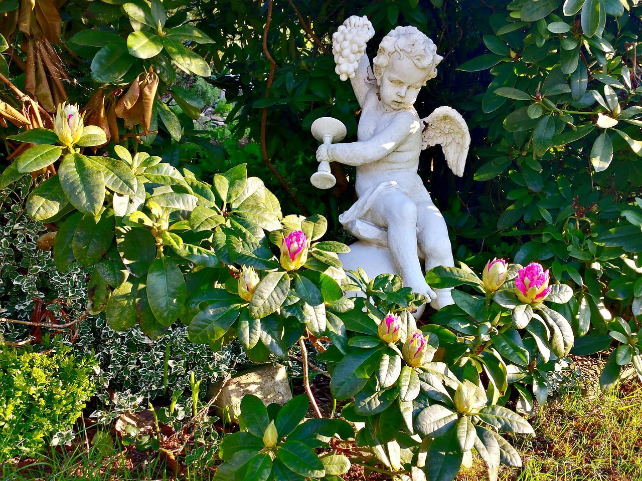 Angel Rhododendron Rhododendron Buds Rhododendron Knospen, unterschiedlich weit geőffnet. Angel With Rapes Angel Statue Admidst Green Leaves White Angel Weißer Engel Engelsfigur, im vordergrund Blühten . Beliebte Fotos Ladyphotographerofthemonth Angel Statue Angels Garden Statues Beautiful Composition Beautiful Combination Garden Decor Gardens Garden Photography Garden Sunkissed Flowers Sunkissed Von Der Sonne Beschienen