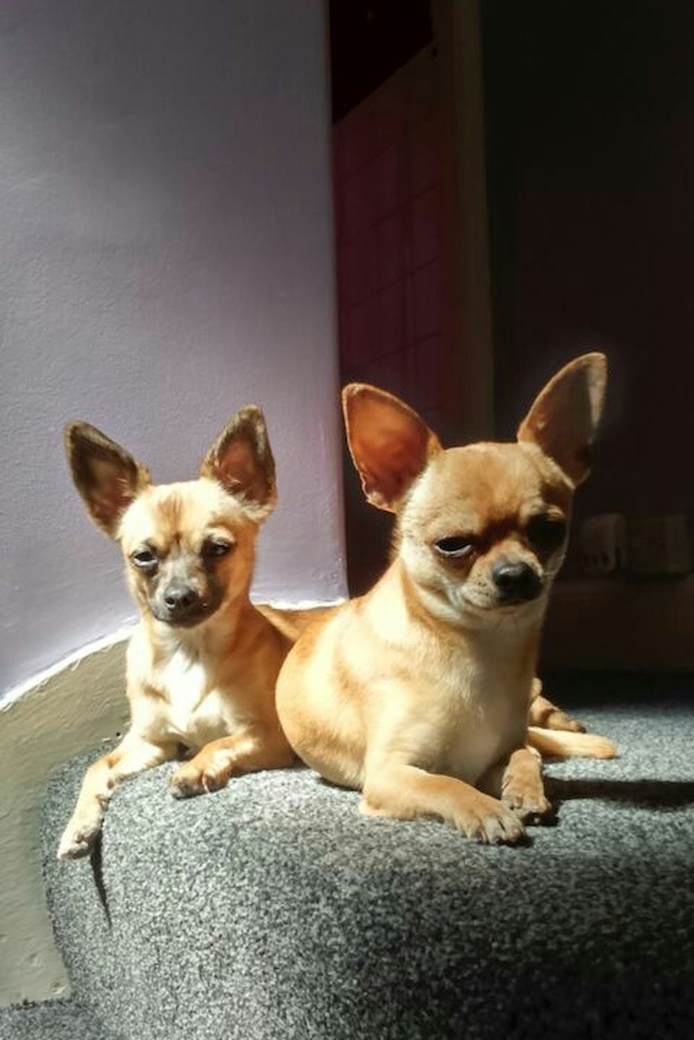 Sunlight Shade Light And Shadow Mix Breed Chihuahua Mix Chihuahua Dogs Chihuahuas Little Dogs Small Dogs  Sitting Dogs Sitting Sitting Pretty On The Stairs Top Of The Stairs Cute Pets Cute Dogs Dogs Of EyeEm EyeEm Dogs Sun Shine Attention Light And Dark Two Is Better Than One