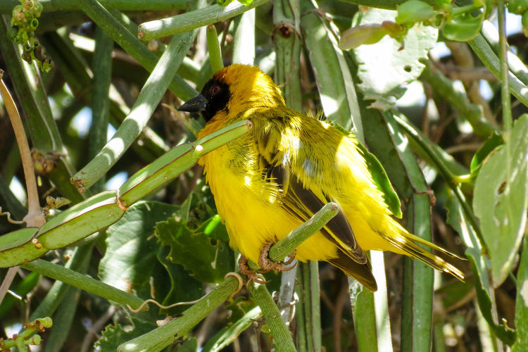 Southern Masked Weaver Bird African Safari Animal Themes Animal Wildlife Animals In The Wild Beauty In Nature Bird Bird Photography Bird Watching Birds Birds Of EyeEm  Birds Wildlife Birds_collection Birds_n_branches Birdwatching Close-up Full Length One Animal Perching Southern Masked Weaver Bird Southern Masked-Weaver Yellow Yellow Bird Paint The Town Yellow