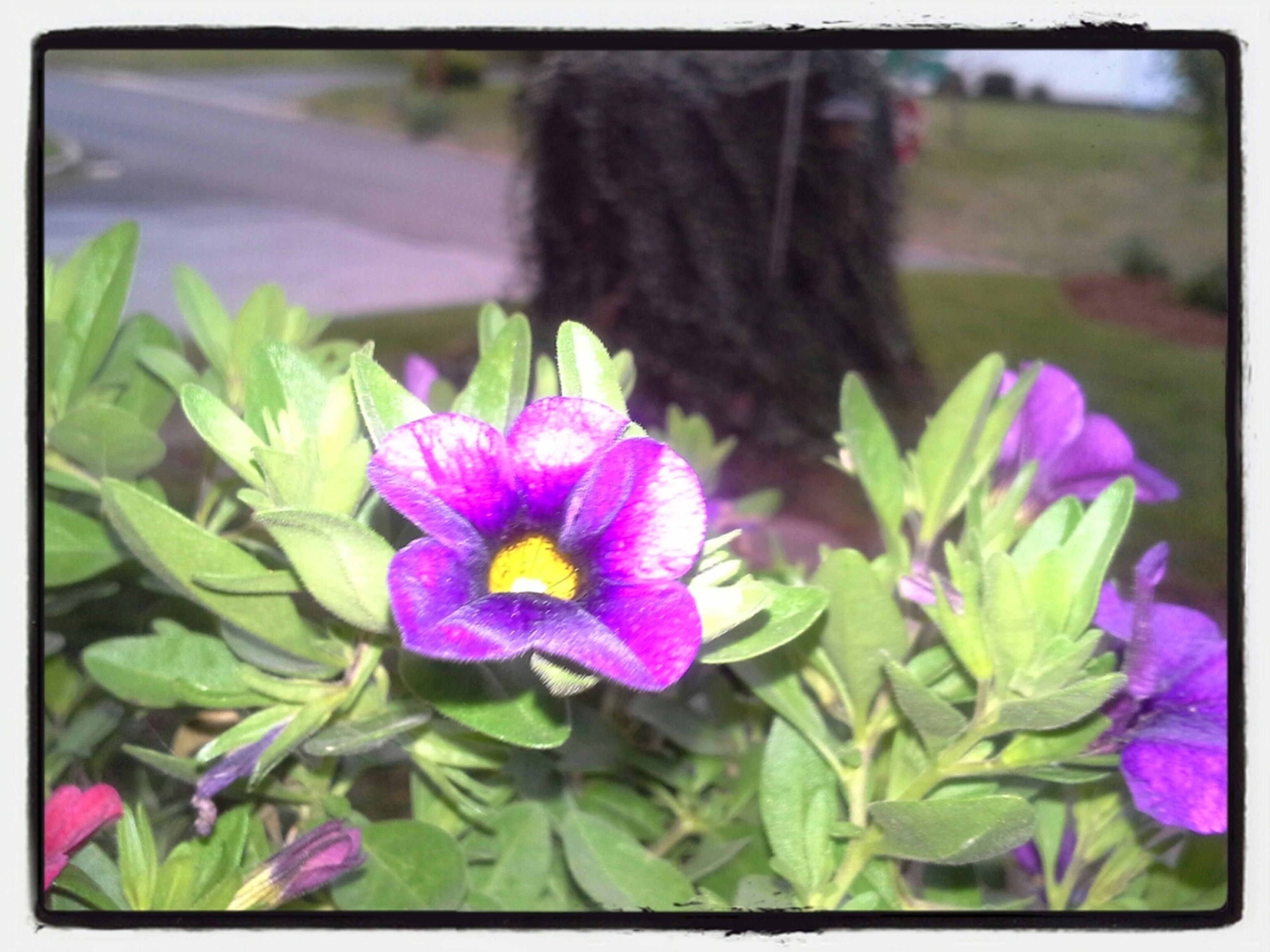 flower, transfer print, freshness, petal, fragility, purple, growth, flower head, auto post production filter, beauty in nature, plant, focus on foreground, blooming, close-up, nature, leaf, in bloom, park - man made space, day, outdoors