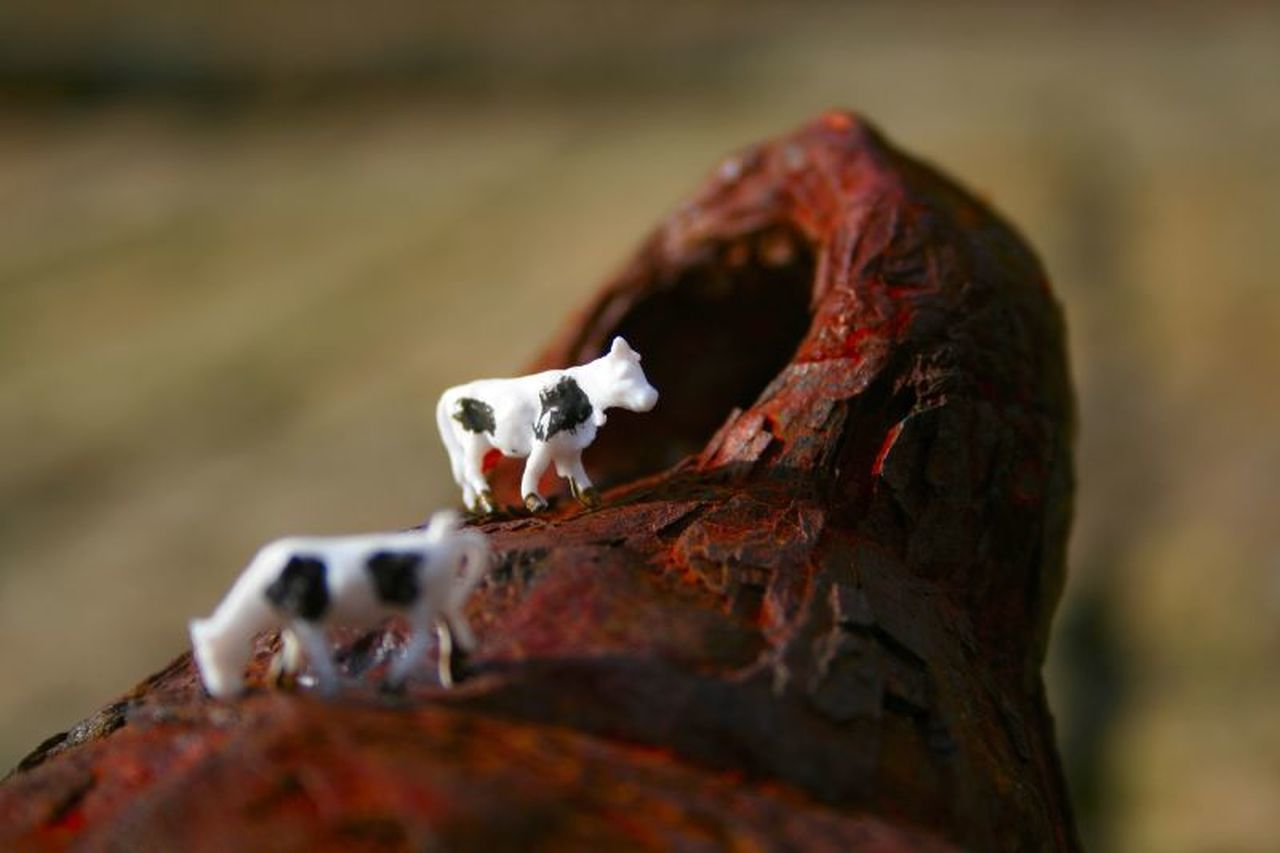 tiny art project in penzance tiny cows Animal Themes Animal Wildlife Animals Animals In The Wild Art, Drawing, Creativity Black And White Bovine Close Up Close-up Cow Cow Pasture Cows Macro Photography No People Rust Rusty Sea Still Life Tiny Tiny Art Project