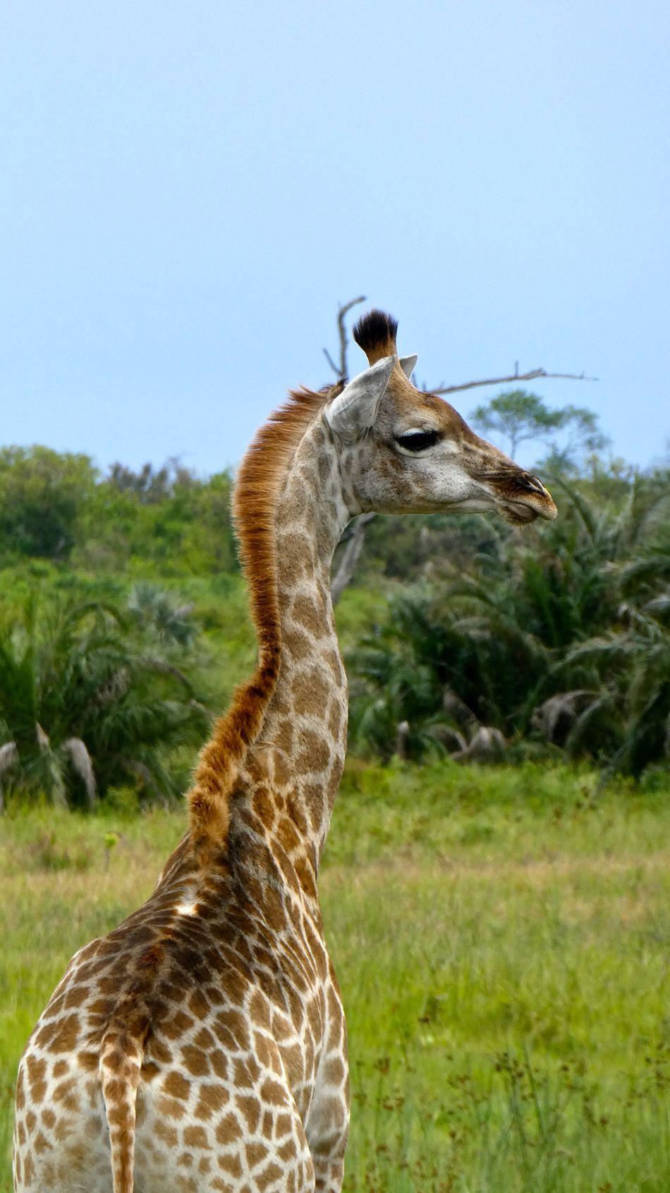 Animal Themes Animal Wildlife Animals In The Wild Day Giraff Giraffe Giraffe Giraffes Giraffe♥ Hluhluwe Mammal Nature No People Outdoors Safari Animals Southafrika St Lucia Wetland Park Südafrika