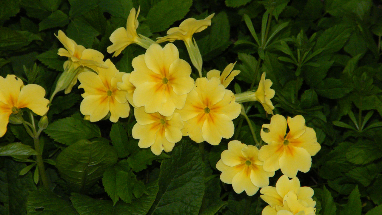 Beauty In Nature Blooming Close-up Cowslip Day Flower Flower Head Fragility Freshness Green Color Growth Leaf Nature No People Outdoors Petal Plant Primrose Primula Yellow