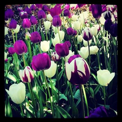 TULIPES at Central Park by Alice Cheng