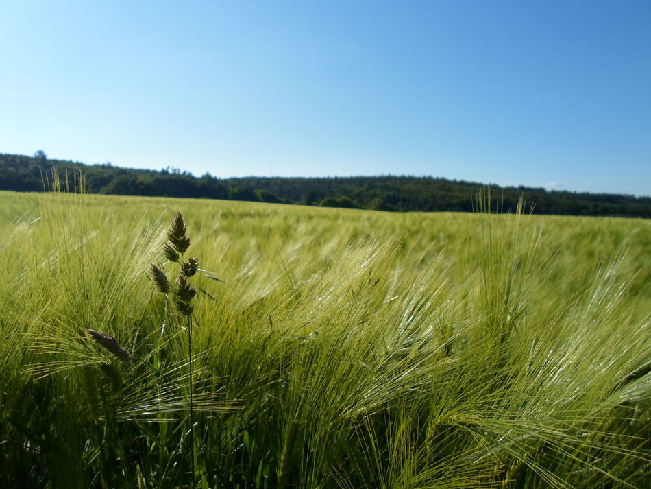 Agriculture Barley Blue Sky Cereal Crop  Rural Farm Field Grass Green Nature Plant Marburg Germany Lahnberge
