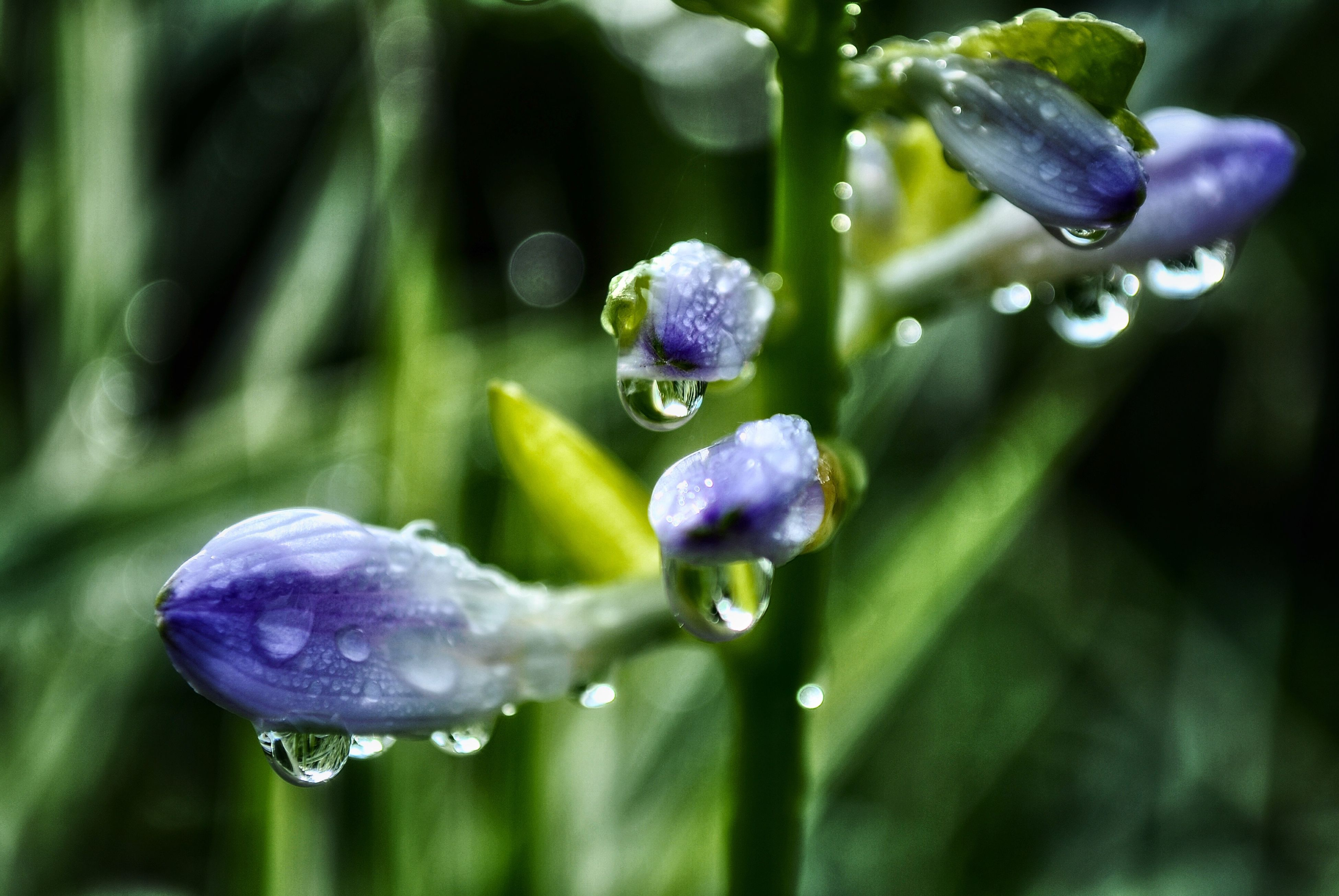 drop, water, wet, freshness, fragility, close-up, focus on foreground, water drop, dew, droplet, beauty in nature, blue, growth, flower, raindrop, purity, purple, nature, weather, plant
