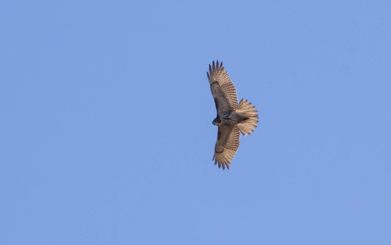 Low Angle View Of Hawk Flying Against Clear Sky