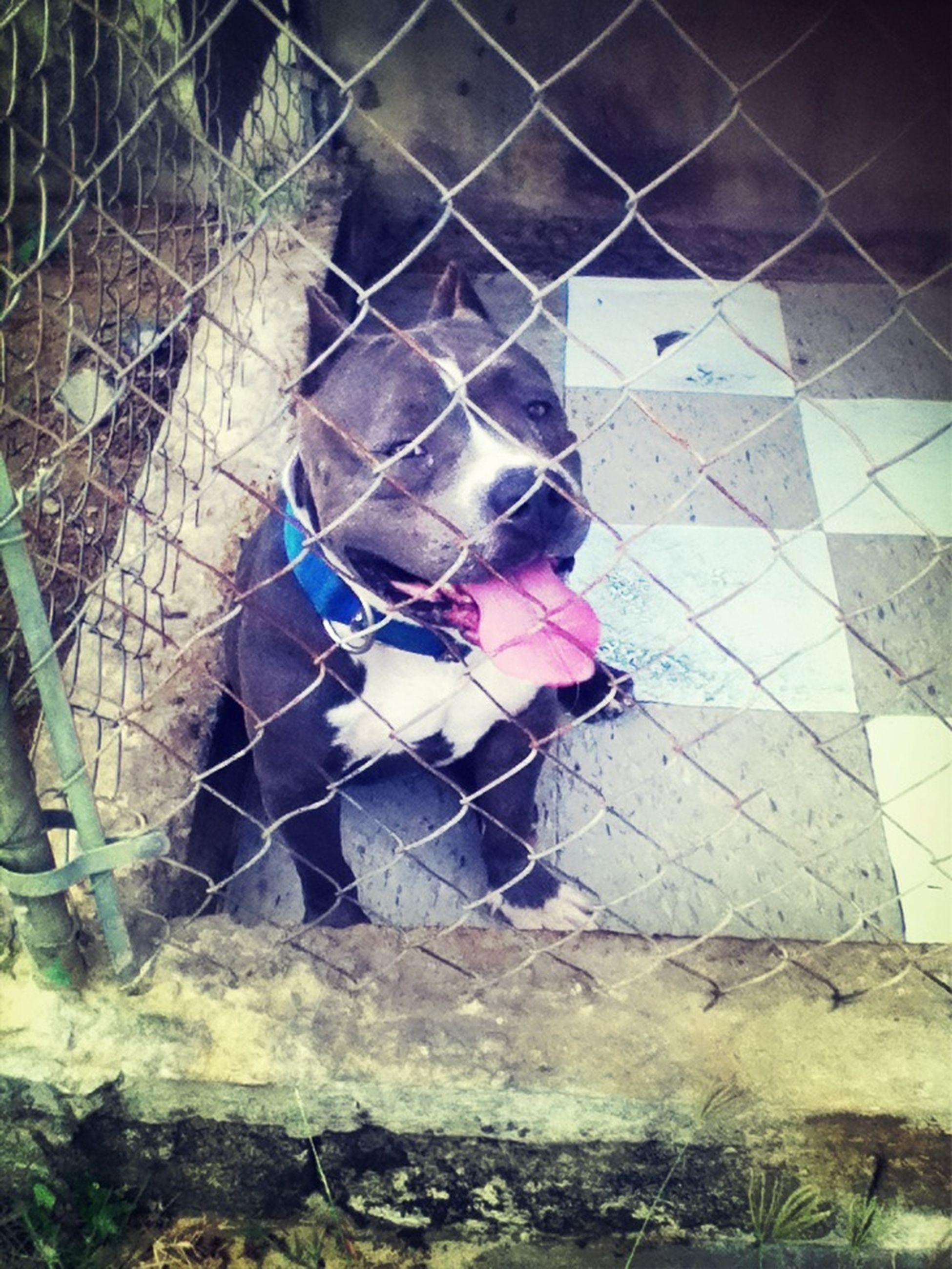 animal themes, one animal, chainlink fence, fence, cage, domestic animals, animals in captivity, protection, metal, mammal, safety, dog, day, metal grate, pets, outdoors, zoo, security, no people, trapped