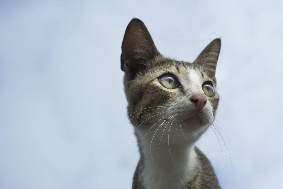 Beautiful stock photos of kitty, Adult Animal, Alertness, Animal, Animal Eye