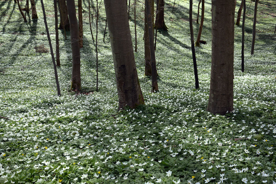 Carpet of white anemones on forest floor Anemone Beauty In Nature Day Forest Forest Floor Forest Photography Forestwalk Freshness Growth In The Woods Landscape_photography Landscape Nature No People Outdoors Peace And Quiet Plant Scenics Tranquility Tree Tree Trunk White Anemone White Flower Wood Anemone White Color