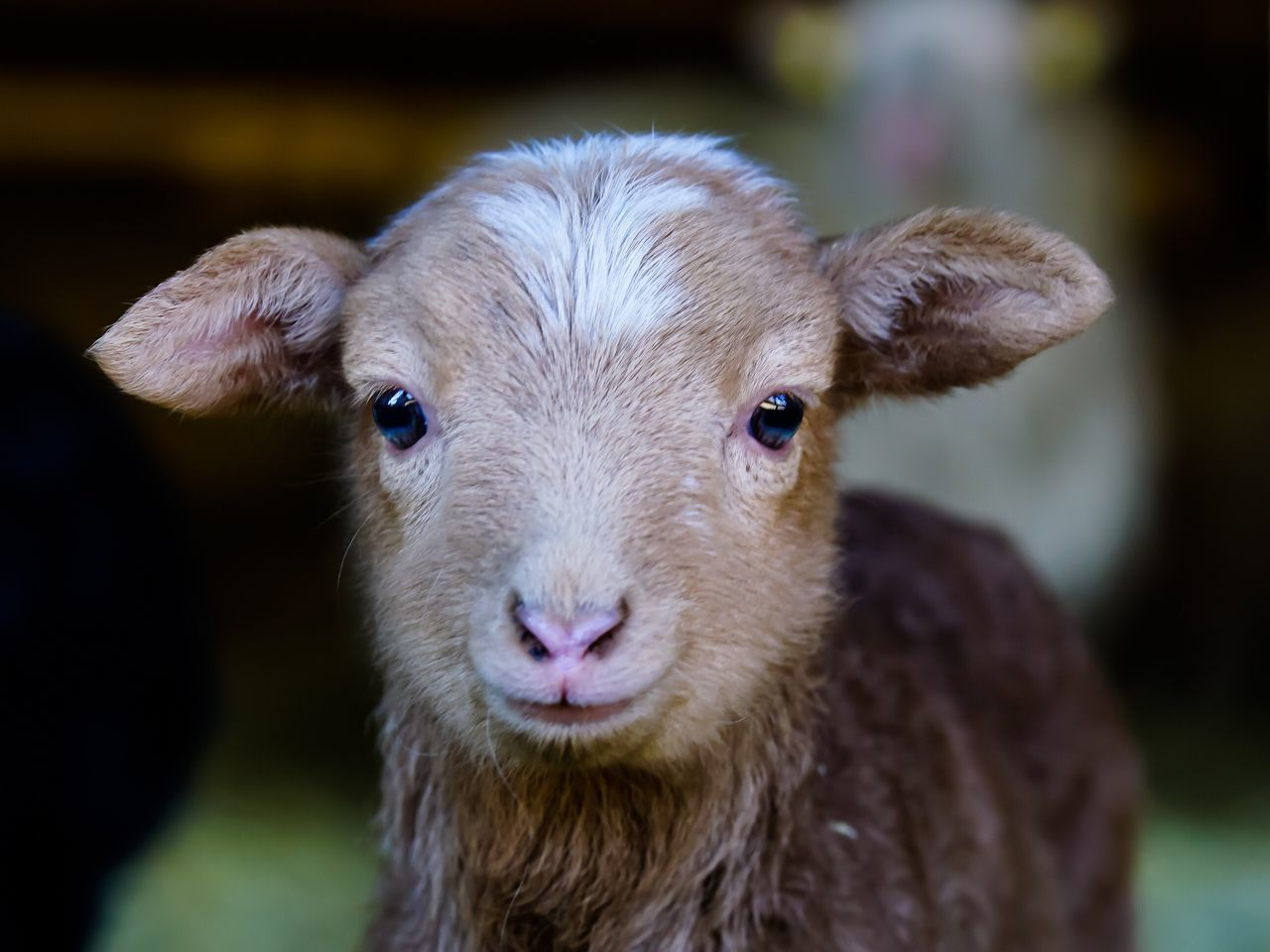 Easter Ready Lamb Lamm Schafe Animals Osterlamm Easter Lamb Sheep Tiere Brown Photooftheday Eye4photography