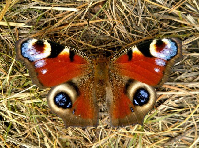 There's neither colour enhancing, nor filter. Butterfly Paon Papillon бабочка павлиний глаз Emperor Moth September Autumn Closeup Symmetry Symmetrical