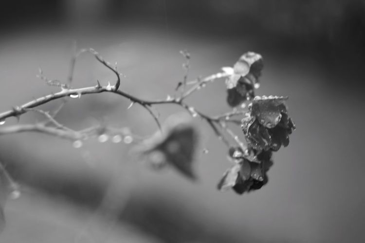 Here And Now Flowers Rain Rainy Days Black & White Blackandwhite Monochrome Rainy Day Flower Oldlens Rosé Rosé rose