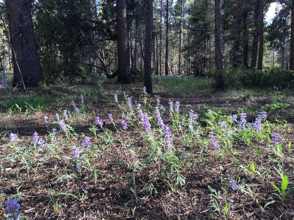 Lupine growing in the forest near Leadville, Colorado Beauty In Nature Colorado Crocus Day Flower Forest Forest Photography Freshness Growth Lupine Lupine Flowers Nature No People Outdoors Purple Tree