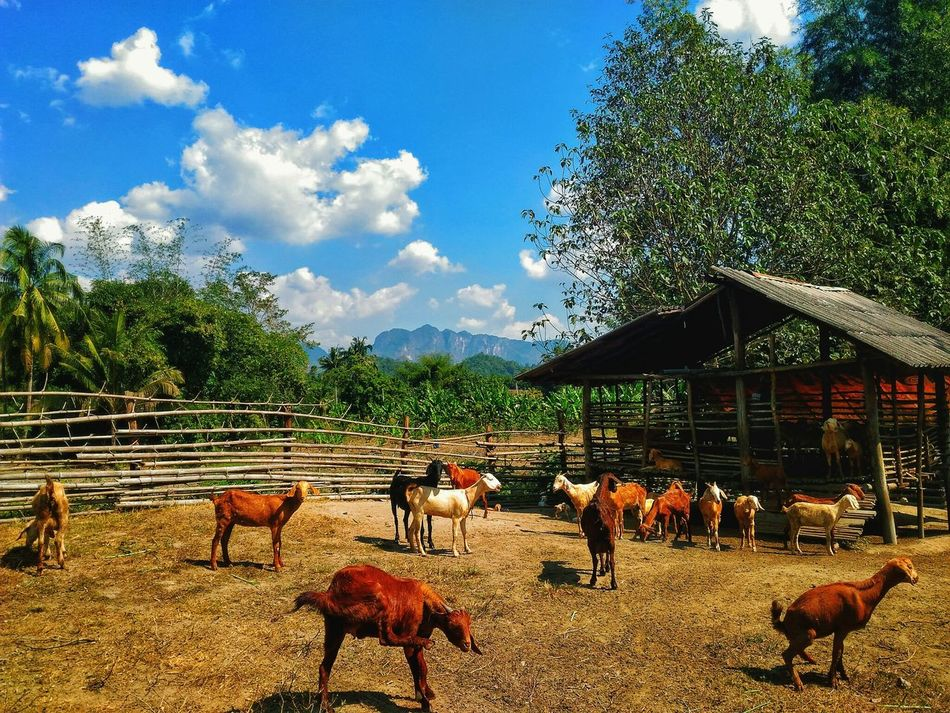 Goat Life Goat Farm Goats Clouds And Sky Tree And Sky The Seat Stand Out From The Crowd Stand Up Colourful Nature Grass Field Natural Light Natural Beauty Outdoor Sunshine Sunny Day Funny Moments Funny Goats