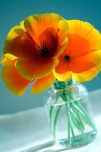 Poppy Flowers Plant Orange Color Flower Photography Poppy Nature Wildflowers Flowers, Nature And Beauty California Poppies Flowers
