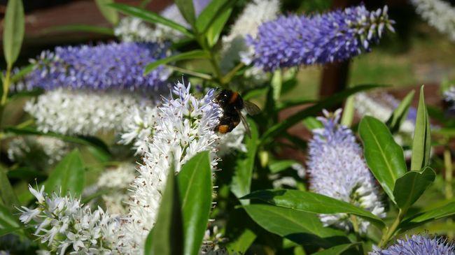 Flowers Bee 🐝 Bumblebee Hebe In My Garden