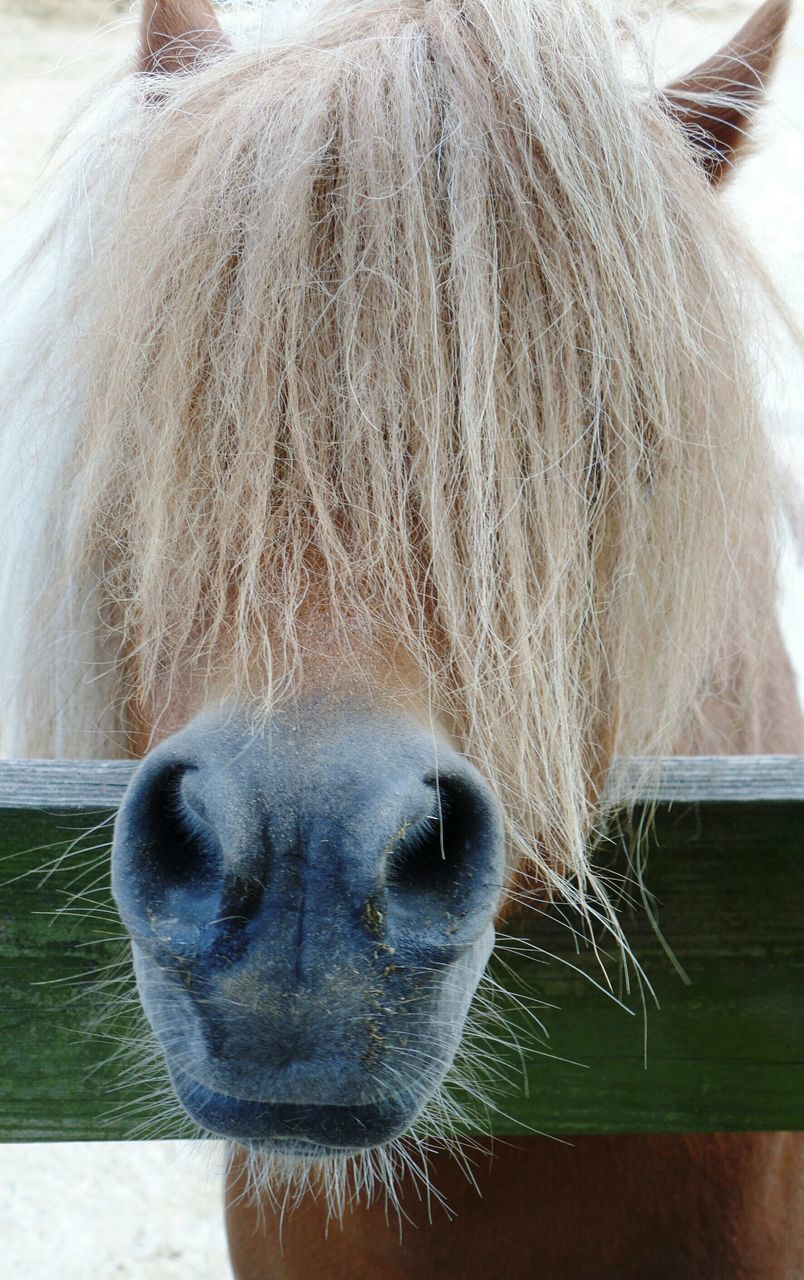animal themes, domestic animals, one animal, mammal, horse, livestock, animal head, animal body part, close-up, animal hair, day, outdoors, focus on foreground, no people, portrait