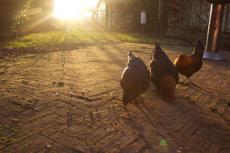 Brown Chicken Chickens Garden Ground Sunset Sunshine Three Winter Wintertime
