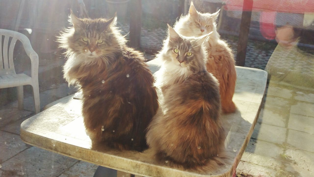 Mainecoon Maine Coon Cat Cats Cats 🐱 Catsoftheworld Catslife Cats Eyes Cats On The Table Sunshine Cats