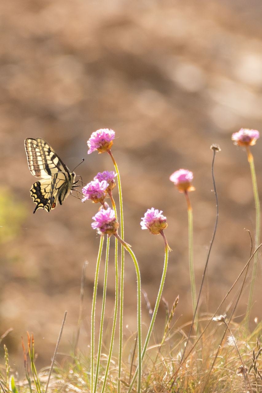 flower, nature, fragility, growth, pink color, beauty in nature, insect, plant, one animal, no people, outdoors, petal, day, butterfly - insect, freshness, animals in the wild, focus on foreground, animal themes, close-up, animal wildlife, flower head, blooming