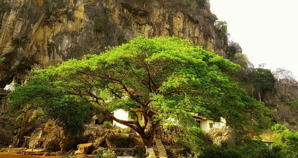 Travel Photography Big Tree Welcome Myanmar Everything In Its Place Save The Planet Nature Pleasure Share Your Adventure Kayin State, Burma. Pha-an Save The World Sa-dan Cave Myanmar View Sadan Cave