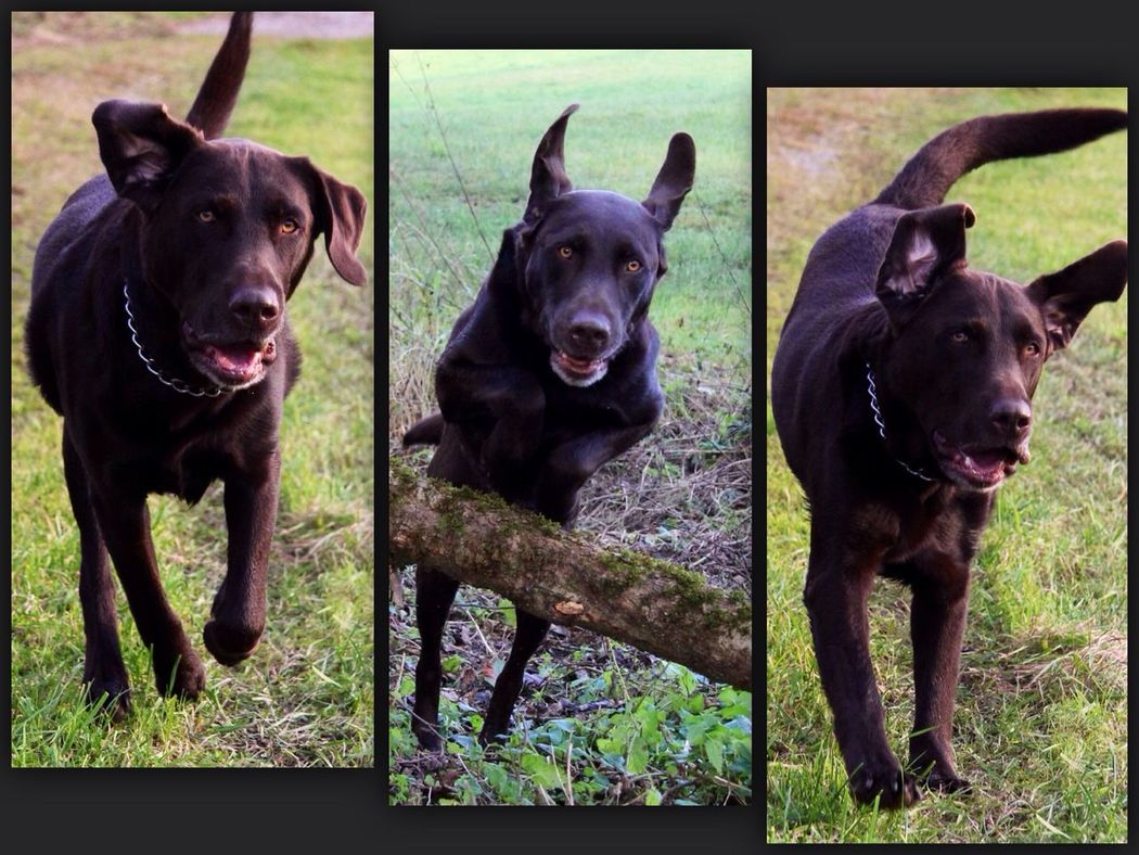 Dog Eiko Run Chocolatelab