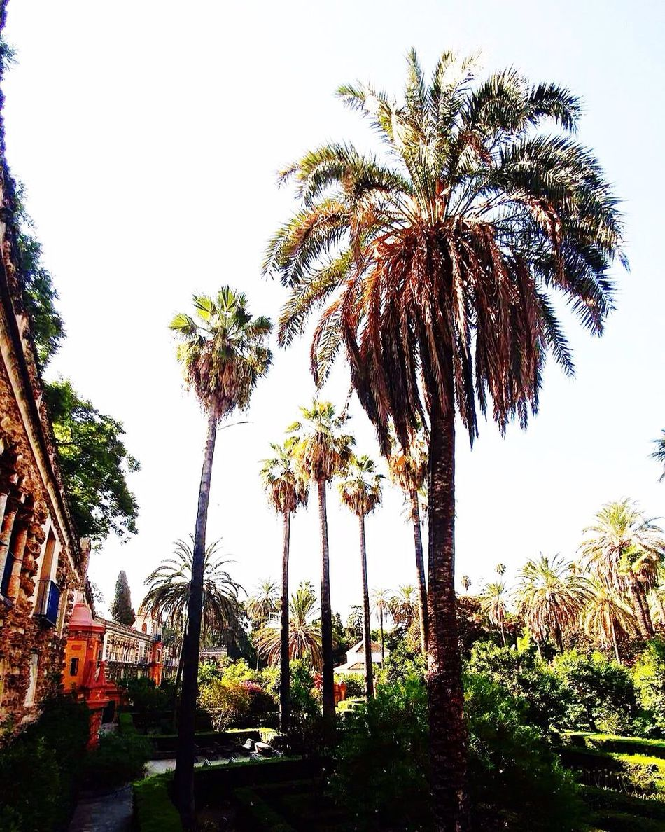 Palm Tree Tree Tree Trunk Growth Tranquility Nature Outdoors SPAIN Travel Destinations Sevilla Alcazar Day Scenics Beauty In Nature Sky