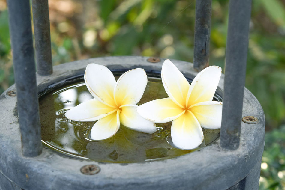 Beauty In Nature Blooming Close-up Day Flower Flower Head Fragility Frangipani Freshness Growth Nature No People Outdoors Petal Water White Color