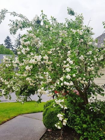White tree blossoms with raindrops on them. Pacific Northwest  Washington State Pacific Northwest Beauty PNWonderland Tree Blossoming Magic Blossoms,spring,tree,outdoors Blossoms! Flowers, Plants & Garden Tree Flowering Tree Flowers Tree Flower Spring Photography Place Of Heart Spring Blossoms Springtime Blossoms Spring Flowers Blooming Lovely Raindrops Raindrops On Flowers Raindrops On White Flower Raindropsonflowers Raindrops On Trees Suburban Landscape Suburban Treescape Suburban Tree