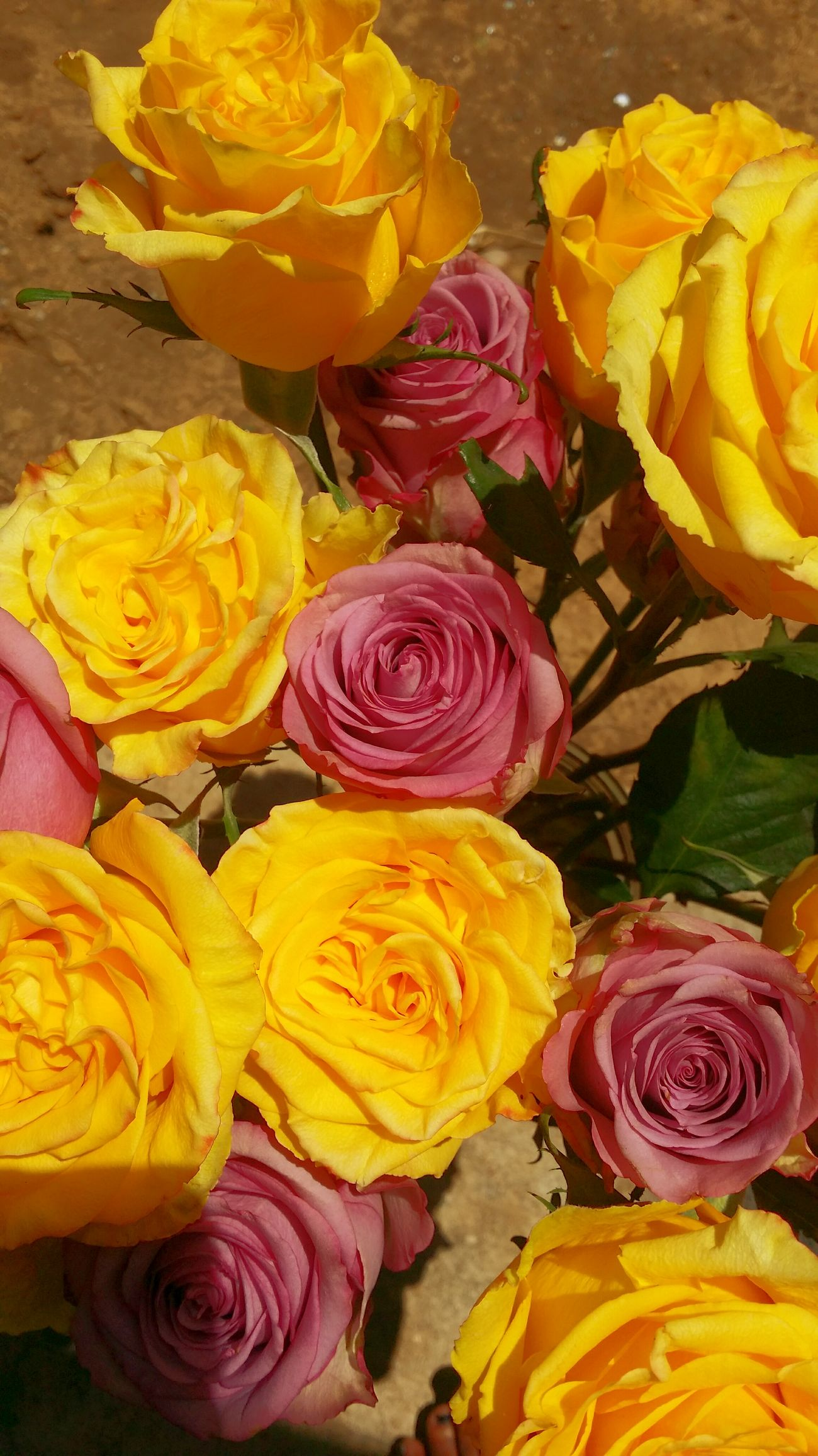 This weeks roses.... Roses🌹 Flowerporn Garden Photography Yellow Rose Purplerose High&exotic CoolWater StonerFlowerChild Flowerchild