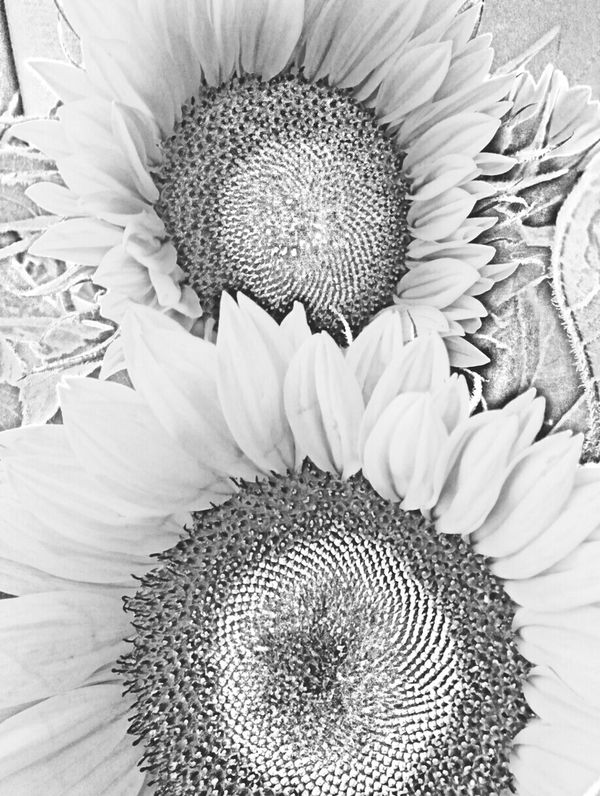 Sunflowers🌻 Black And White