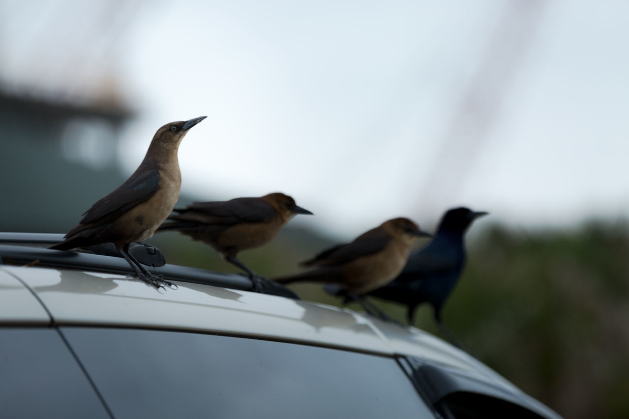 Animal Themes Animal Wildlife Animals In The City Animals In The Wild Bird Birds Car Composition Day Nature And City No People Outdoors Perching Transportation