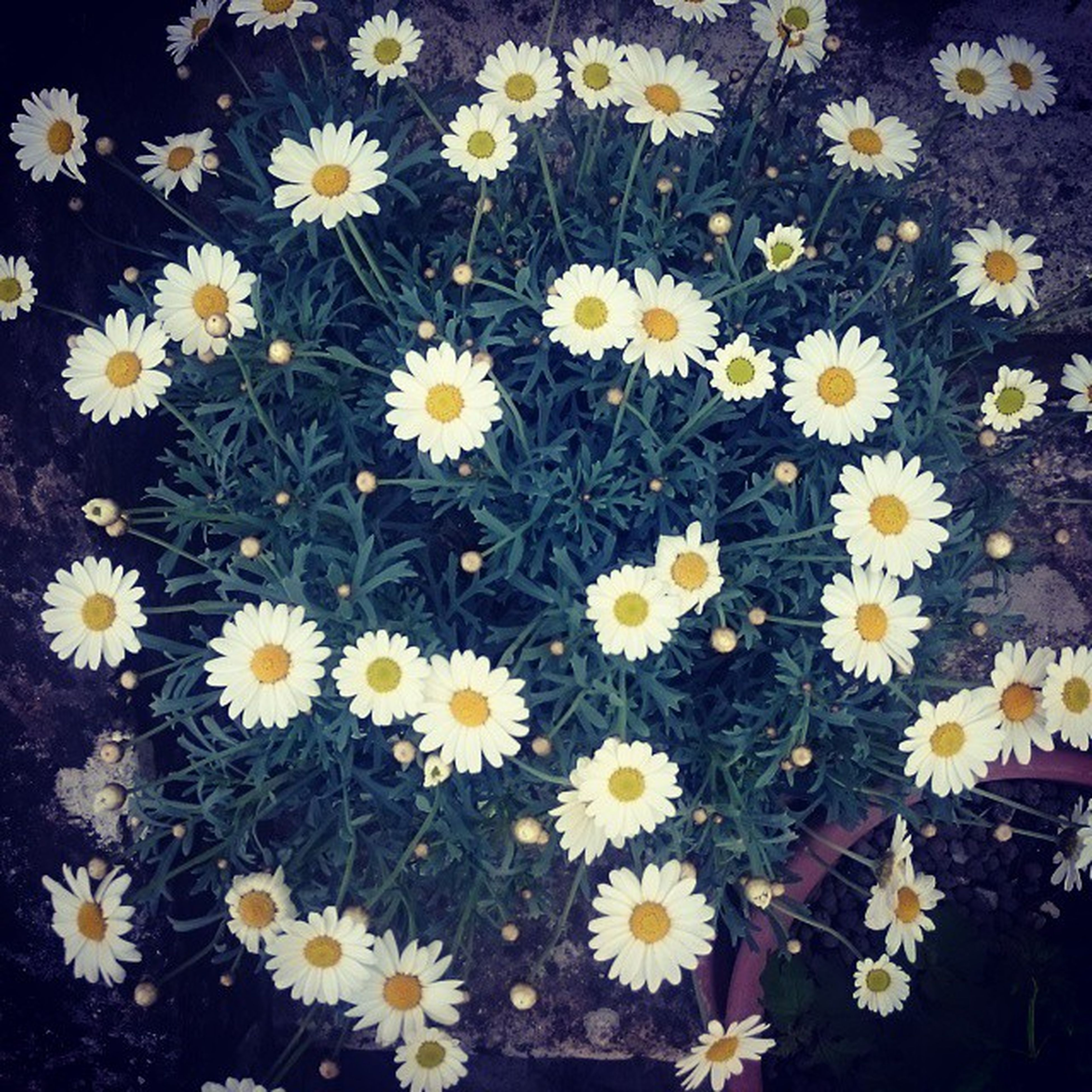 flower, freshness, daisy, fragility, petal, growth, beauty in nature, white color, flower head, blooming, nature, high angle view, yellow, plant, field, abundance, pollen, in bloom, blossom, outdoors