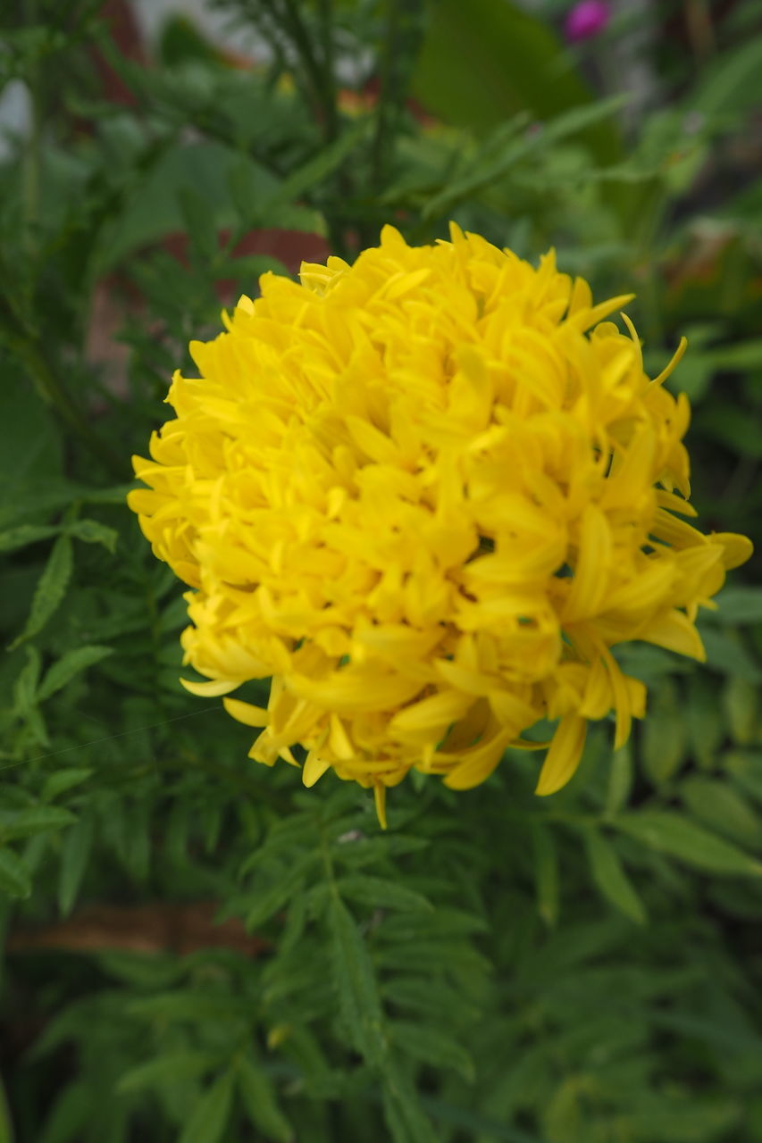 flower, yellow, beauty in nature, fragility, nature, petal, freshness, growth, plant, close-up, flower head, outdoors, no people, day, blooming, marigold